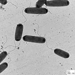 Ingrid Figure_bacteria (2)-150x150