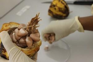 Kakaobohnenernte im Labor